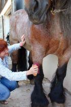 Préparation du cheval de trait
