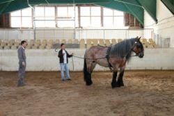 Guidage du cheval de trait dans le manège